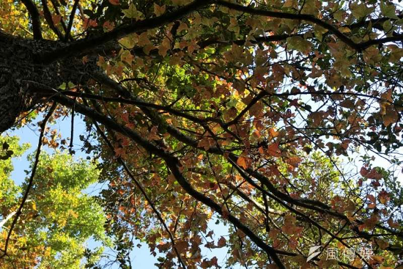東勢林場的楓樹已經開始變色。(圖/王秀禾攝)