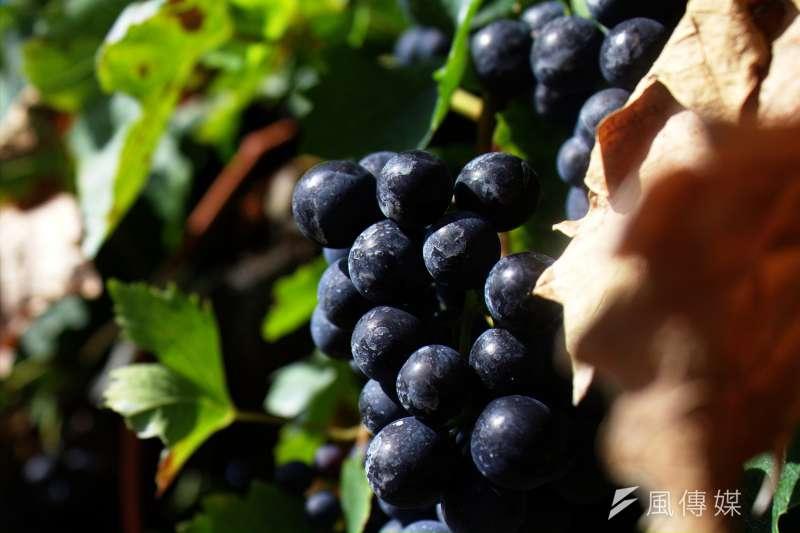 紫葡萄的鐵含量其實相當少,每100公克僅0.2毫克,但富含維生素B群、花青素等抗氧化物質,能夠提振精神,有助護眼、抗老。(tribp@flickr)