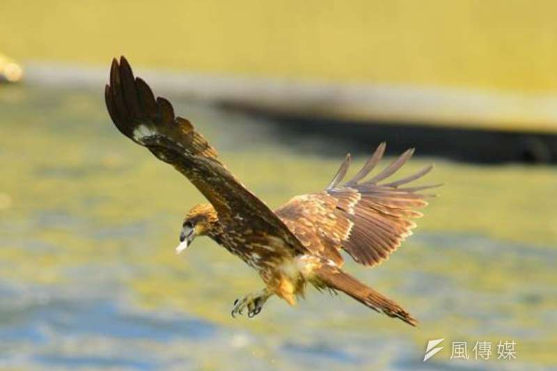 台灣土地倫理發展協會常務理事陳世一指出,北部老鷹面臨食物來源減少的危機,半年來已減少45隻。(資料照,陳世一提供)