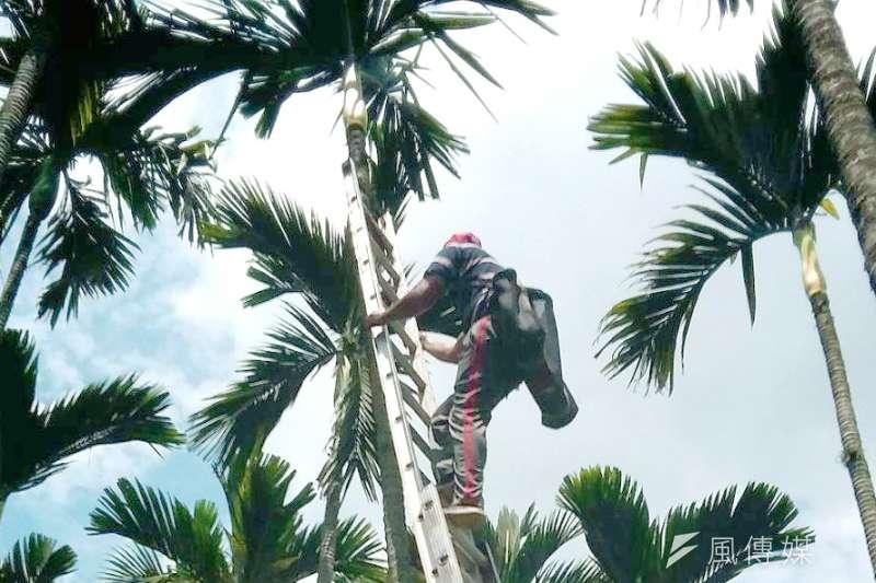 20180720-專題配圖:果品-檳榔,檳榔樹林及採檳榔。(陳明仁攝)