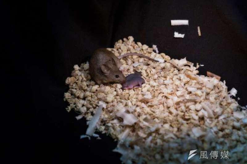 經基因工程改造後,老鼠的雌性幹細胞將酷似雄性基因組。(王樂韻攝)