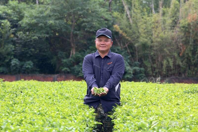 廖俊融細心照顧每一株茶樹,用好茶共創桃園的綠金產業。(圖/柯承惠攝)