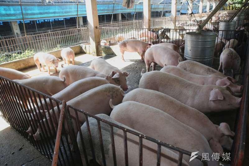 農委會積極輔導養豬業者改用飼料餵養。(新新聞資料照)
