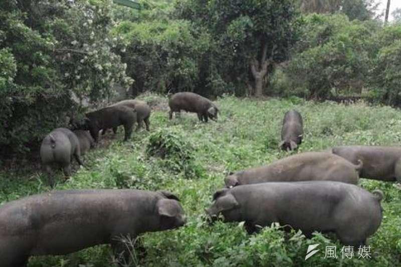 國內最大企業養豬的台糖公司近期推出極品黑豬肉,並與臺北101大樓「隨意鳥地方101觀景餐廳」合作。(圖/徐炳文攝)