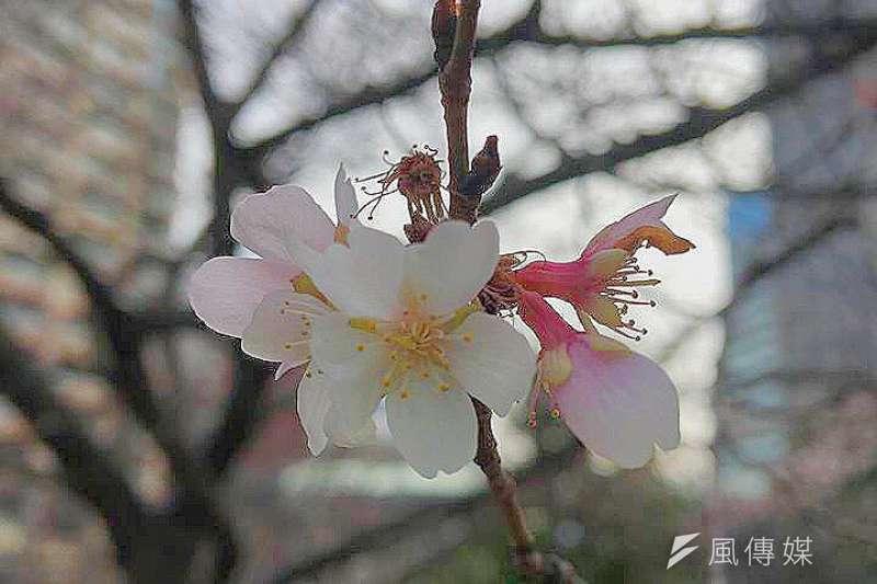 還沒進入二月,東京街頭的櫻花便已悄然零星綻放。(吳仕強攝)