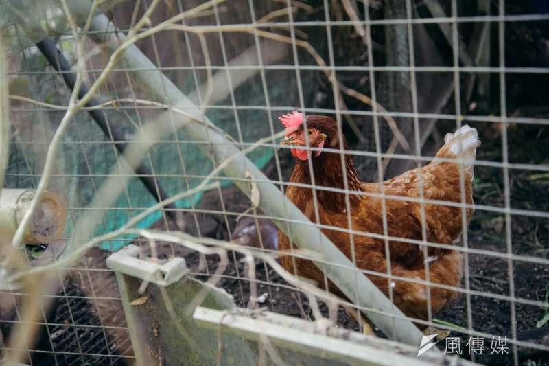 20190219-苗栗石虎專題,雞舍中的雞隻。(甘岱民攝)