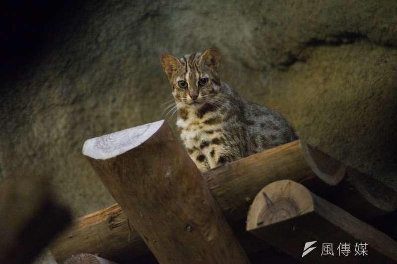 台灣石虎面對棲地流失、棲地品質劣化、非法獵捕等威脅,已經瀕臨絕種。圖為台北市立動物園中的石虎。(資料照,甘岱民攝)