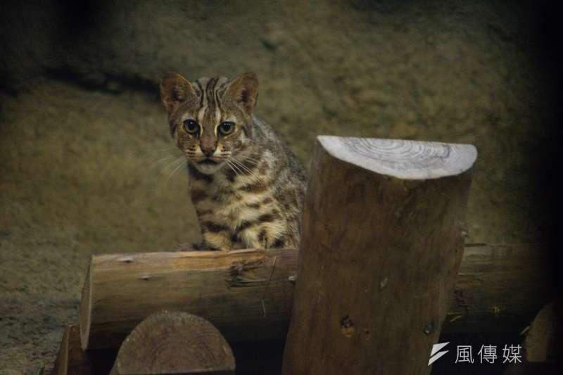 石虎保育問題近來成為苗栗縣議會焦點。(資料照片,甘岱民攝)
