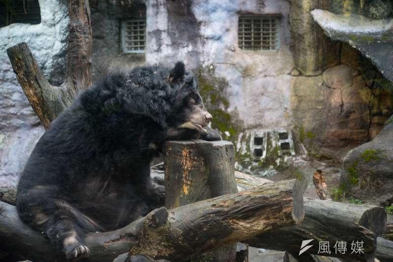 目前台灣黑熊約200到600隻,距離學者認定的安全數量2000隻差距甚遠。(資料照,甘岱民攝)