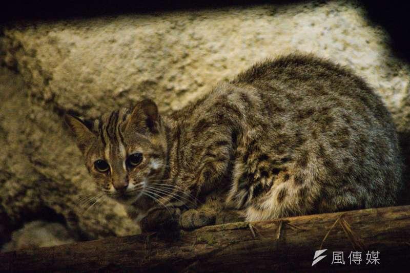 20190303-石虎專題,台北市立動物園中的石虎。(甘岱民攝)