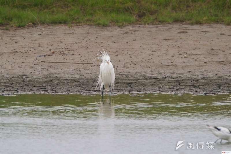 茄萣濕地驚見唐白鷺一身勁裝覓食休息。(圖/徐炳文攝)