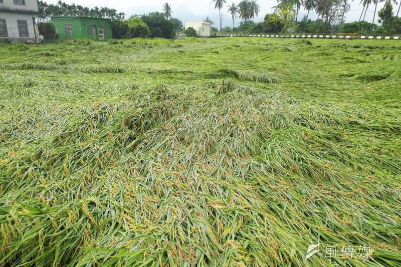 受外海劇烈對流移入影響,瞬間強降雨導致旗山、美濃及杉林等3區水稻倒伏嚴重。(圖/徐炳文攝)