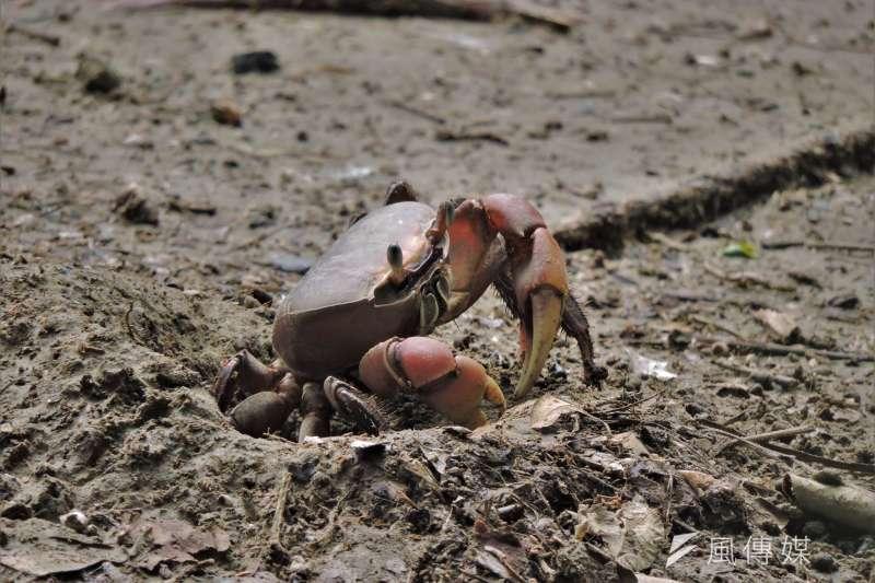 援中港濕地生物被春雷喚醒,陸蟹於泥灘地上活動。(圖/徐炳文攝)