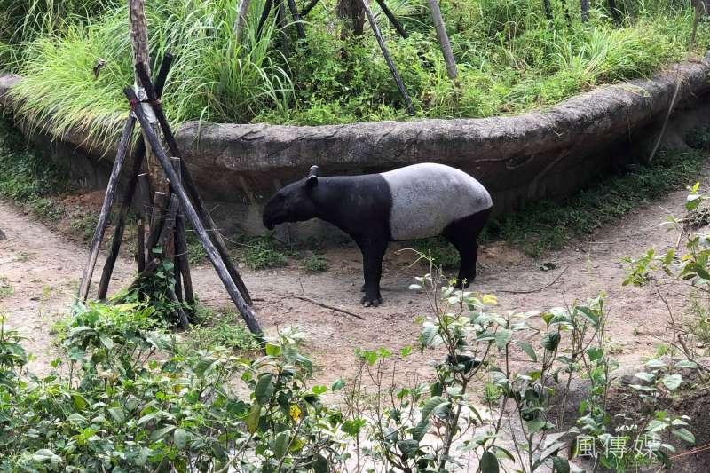 20190730-戶外區展示的馬來貘原分布於東南亞,生活在低海拔的熱帶雨林。曹先紹表示,原本預計的展示物種是中美貘、南美貘,但最後採納許多歐洲的合作單位的建議,發言人曹先紹表示:保育要從做的好的開始。(張雅如攝)