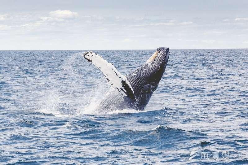 多位專家學者聯合撰文指出,緩解氣候危機有天然神器:鯨魚。(圖/unsplash)