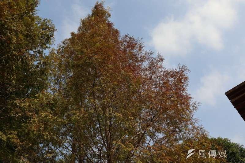 東勢林場位在中低海拔,場區內的裸羽松樹葉已經開始變換顏色。(圖/記者王秀禾攝)