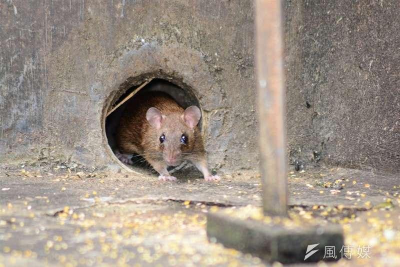 中國內蒙古鼠疫感染源找到了!(示意圖/pixabay)
