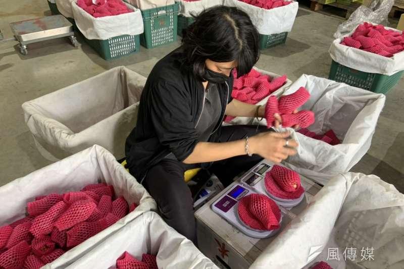 中國貿易商致電六龜區農會表示,將暫緩下周一批蓮霧輸入作業,農民憂心可能蓮霧也要步上鳳梨後塵被禁。圖為農民團體檢驗蓮霧安全及品質。(資料照,徐炳文攝)