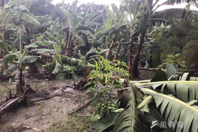 野生動物破壞農作,受鹿隻踐踏磨角後的香蕉倒伏。(圖/徐炳文攝)