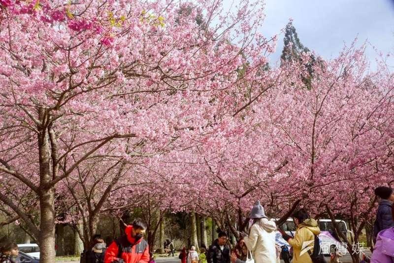 武陵農場櫻花盛開,往年皆吸引許多遊客前來。(資料照,讀者鄭皓輿提供)