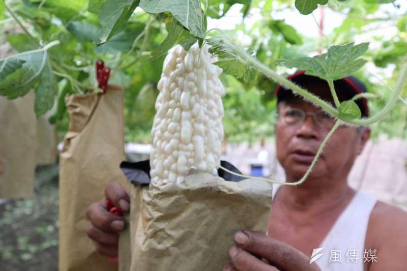 農民陳文淦套袋可防蟲+減少用藥,種出人間仙果的杉林白玉苦瓜。(圖/徐炳文攝)
