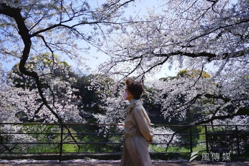 東京盛開的櫻花。(美聯社)