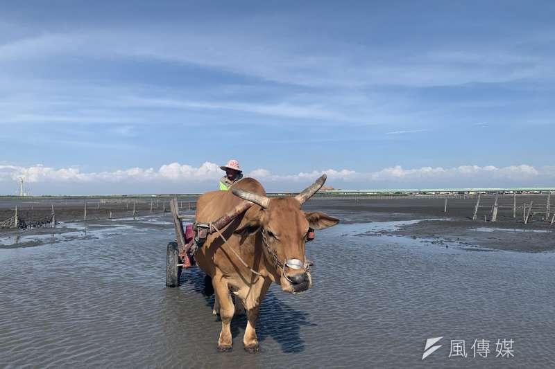 彰化潮間帶是重要生態系,也發展出如採蚵、坐牛車等觀光活動,但光電卻可能毀壞整個潮間帶生態。(呂紹煒攝)