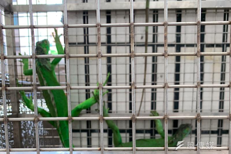20201202-綠鬣蜥。(陳煜攝)