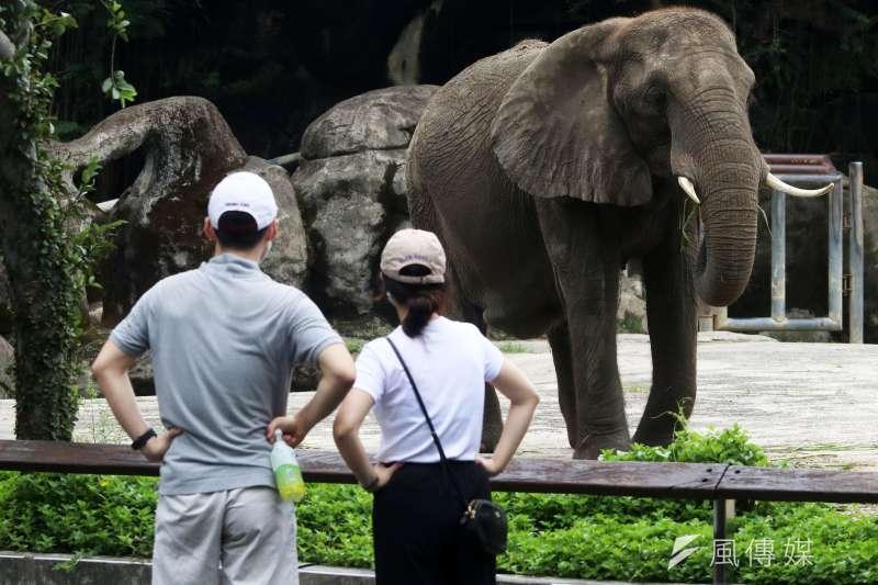 20210801-動物園內的非洲象。(蘇仲泓攝)