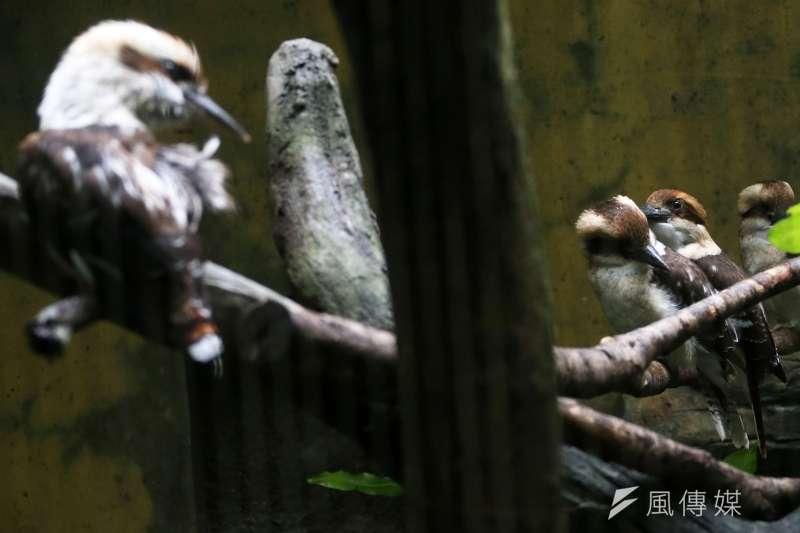 20210801-動物園內的笑翠鳥與寶寶。(蘇仲泓攝)