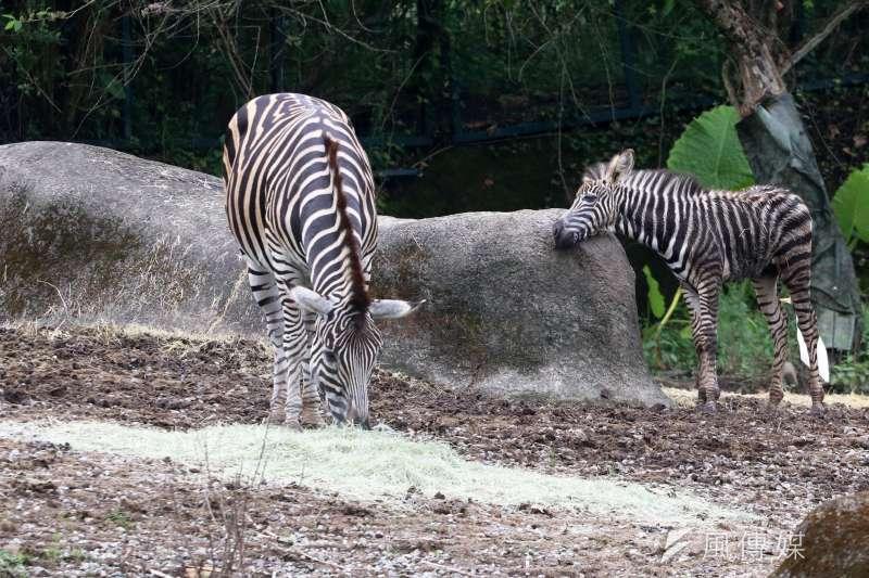 20210801-動物園內的查普曼斑馬與寶寶。(蘇仲泓攝)
