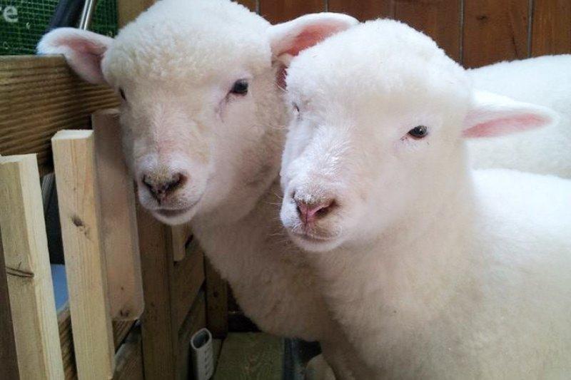 兩隻白色綿羊儼然成了鎮店之寶(圖/Thanks to Nature Café FB)