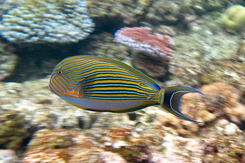 大堡礁(Great Barrier Reef)