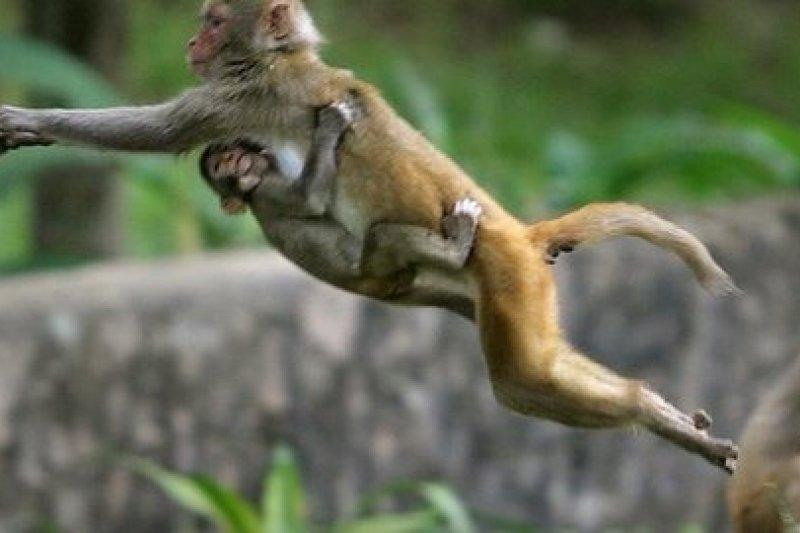 印度北部瓦拉那西的猴子地位神聖,咬了纜線阻礙建設。(取自推特)