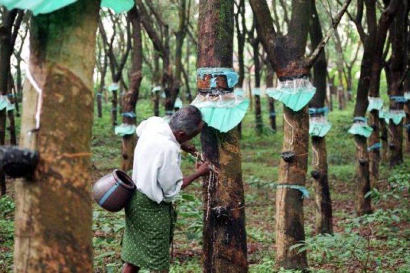 橡膠園排擠雨林的生存,將造成全球生態浩劫。(取自推特)
