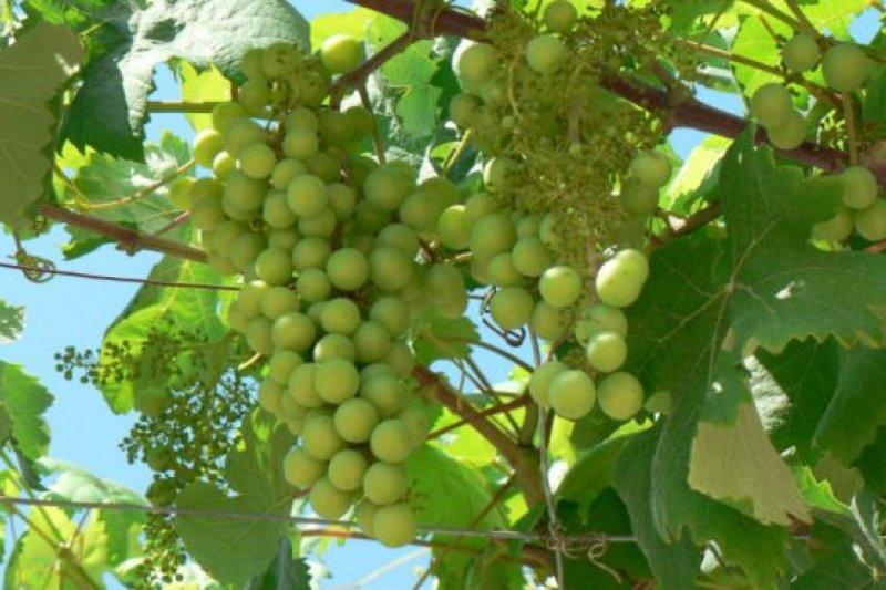 中國人對紅葡萄酒情有獨鍾,進口的品種絕大多數為紅葡萄。