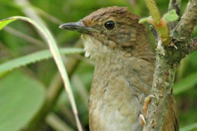 四川灌木鶯,不鳴叫的時候幾乎不可能看到它們