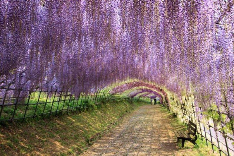 追完粉紅色的櫻花,還有美麗的紫藤花可賞!(圖/TripAdvisor)