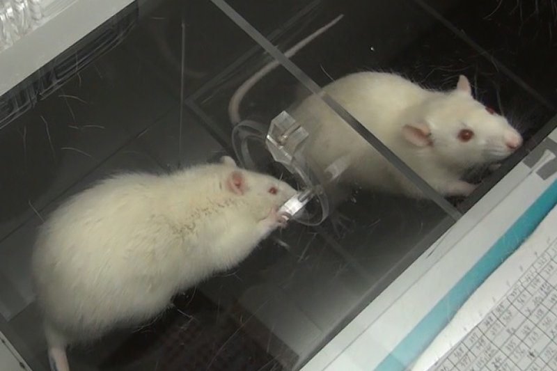 據科學家實驗結果顯示,由比利時非政府組織安特衛普掃雷組織(APOPO)訓練的非洲巨鼠,其偵測結核病的準確率幾乎百分百。(風傳媒)