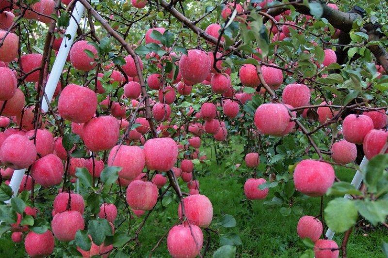青森蘋果園(lucialin/flickr)