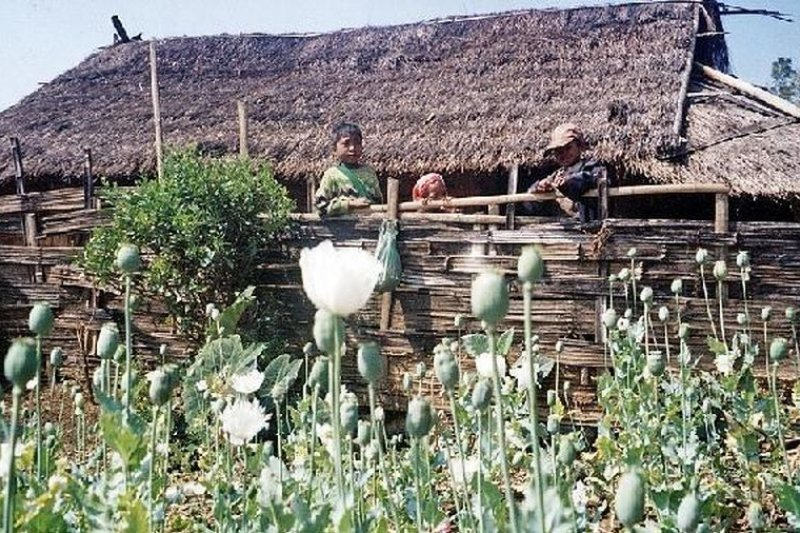 金三角地區的罌粟地。(央視報導畫面)