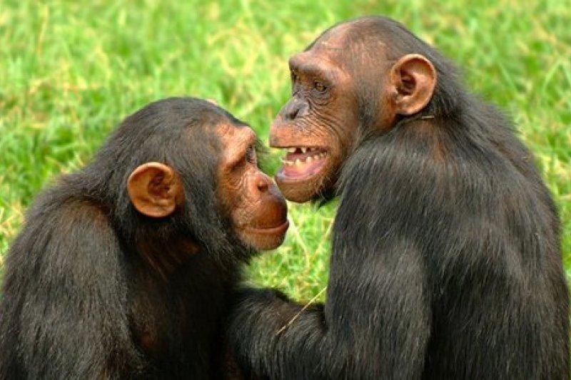 研究顯示,黑猩猩與人一般,會笑也會喝醉酒。(美聯社)