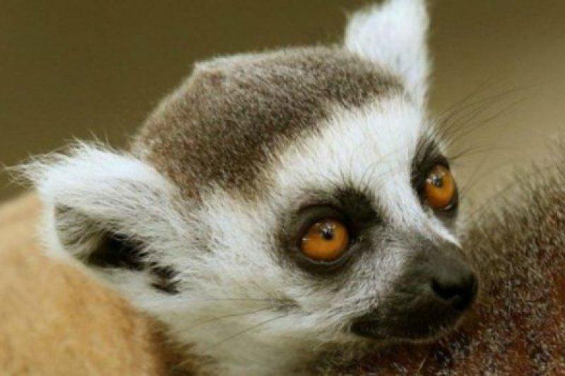 全球94%的狐猴均已經瀕危,其中20%行將滅絕。
