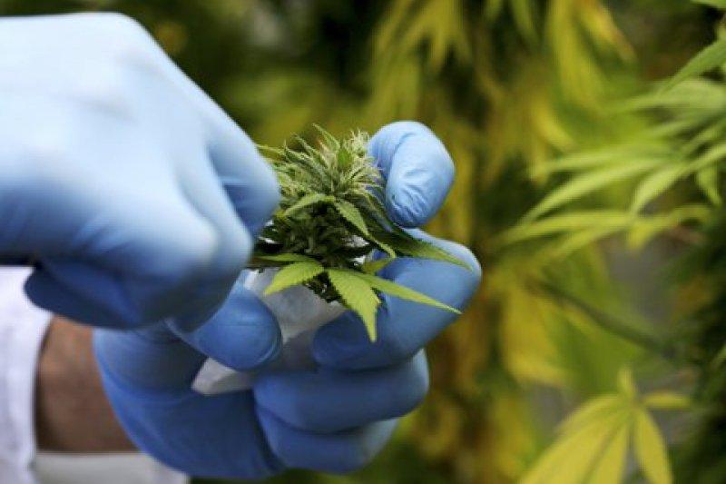 以色列研究人員發現,大麻有助骨頭癒合。(取自推特)