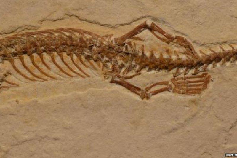 四腳蛇始祖化石近日於巴西出土。(取自推特)