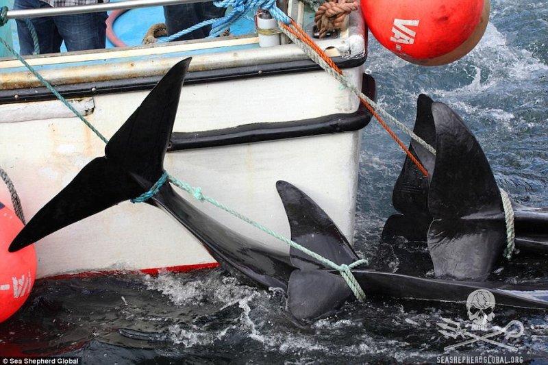 「海洋守護者協會」到丹麥阻止捕鯨