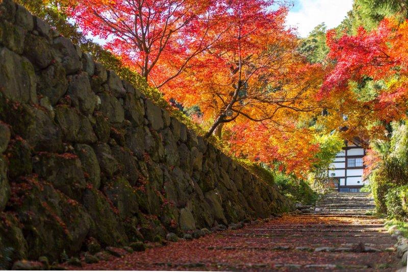 街道上成排的楓樹枝梢尚有殘餘的紅葉顫抖著,而吹向兩旁溝渠低窪處的銀杏落葉,間歇地在水泥地上刮起黃色的枯索的聲音。日本人稱這種秋冬之際把樹木吹枯的冷風為「木枯」(音 kogarashi),確乎有道理,而且饒富詩意。(資料照, 三度目の京都)
