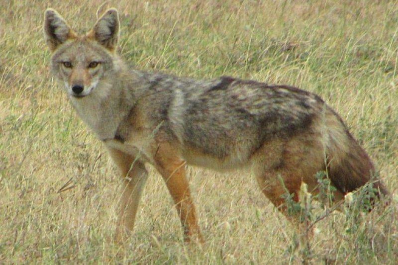 非洲黃金狼過去常被誤認為歐亞金豺,科學家現已證明其為新物種。(取自推特)