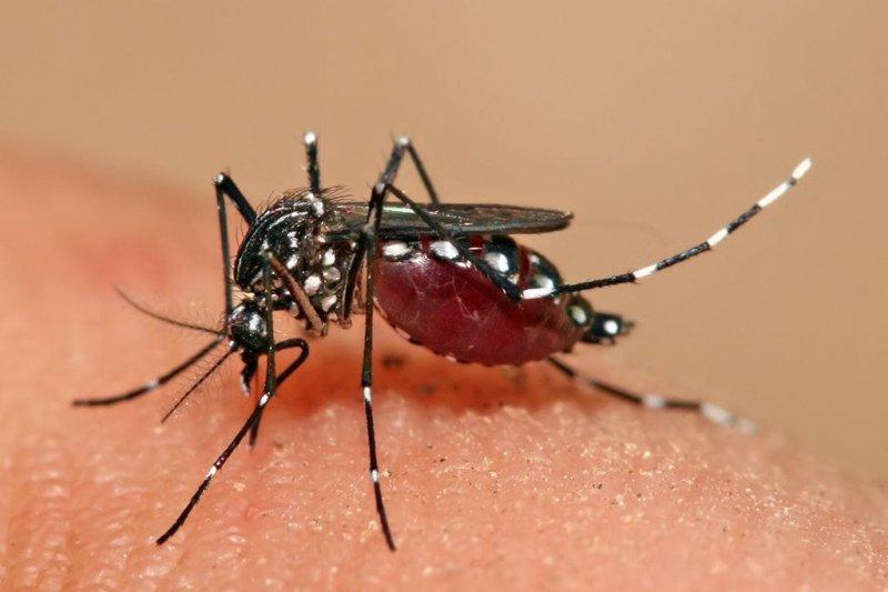 埃及斑紋以人為宿主,當攜帶登革病毒的蚊子叮咬人,病毒會隨其唾液進入皮膚,導致許多臨床症狀,如發熱、流感樣症狀和劇痛。(取自維基百科)