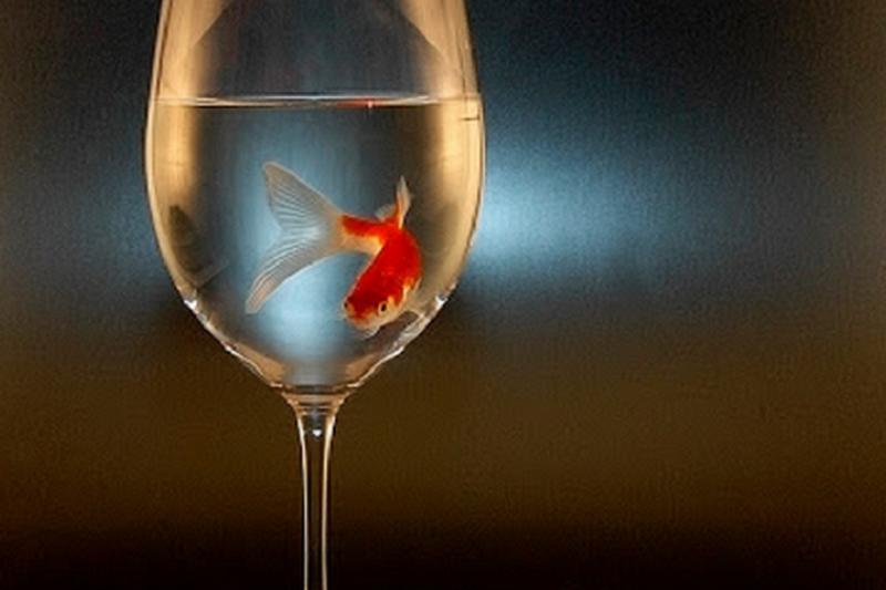 杯底不可飼金魚是莊永明最愛唱的歌曲。(圖片來源: capn madd matt@flickr)